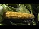 Уборка последней кукурузы обзор сортов