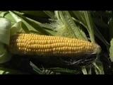 Уборка последней кукурузы, обзор сортов.