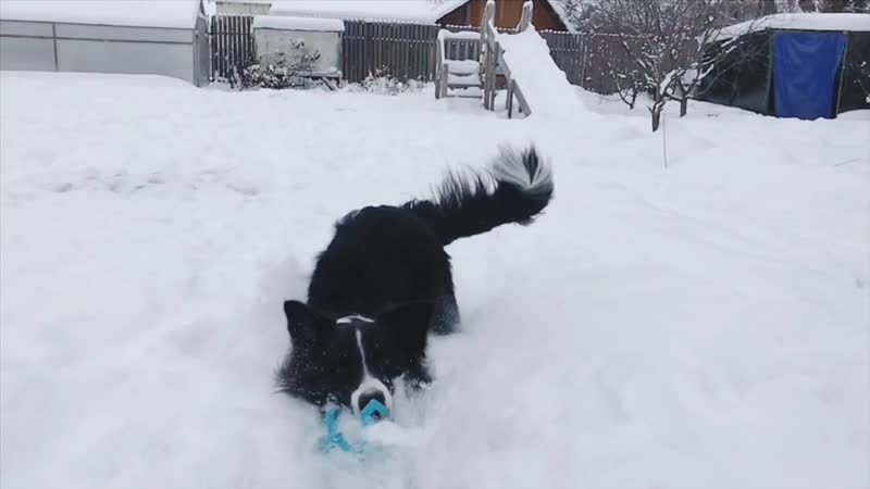 Border collie Karamba, 1 year