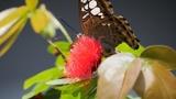 Макросьемка на GH5 и Lumix G Vario 45-200. Пример видео. Ферма бабочек Entopia, Малайзия
