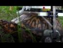 Сломанная, но не сломленная черепаха