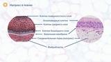 Внеклеточный матрикс состав и структура за 5 минут