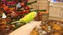 САМЫЙ ВЕСЕЛЫЙ РУЧНОЙ ВОЛНИСТЫЙ ПОПУГАЙ ТОША зеленый попугайчик TV