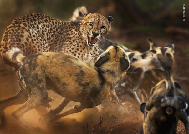 Пожилой гепард оказался в окружении стаи африканских собак