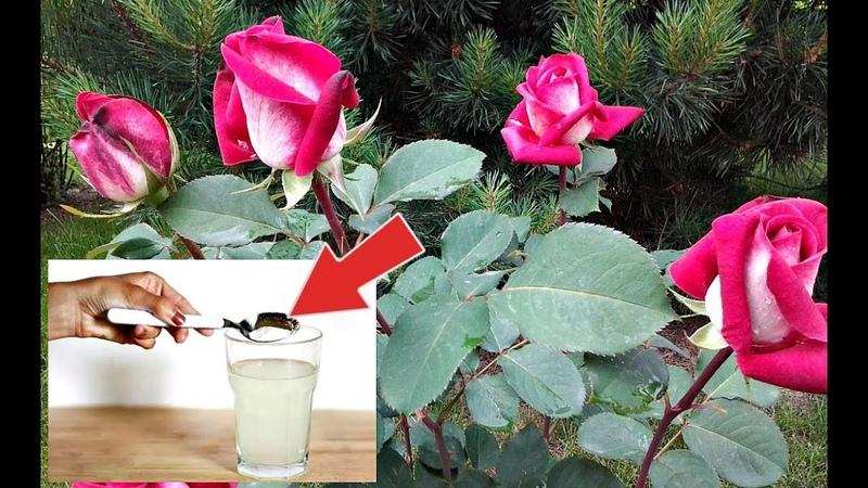 Ни одна подкормка для роз не сравнится с этой! Чем подкормить розу в период цветения?