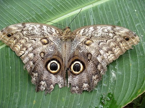 Солнечная цапля- птица-бабочка (eurypyga helias)