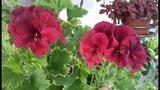 Наши пеларгонии весной. Основные нюансы при выращивании и размножении.