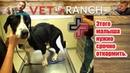 Vet Ranch на русском - Этого малыша нужно срочно откормить / He Needs Some Food Quick!