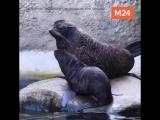Новорождённый морской котик