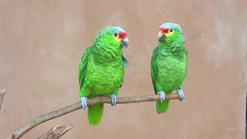 Parrots say Hari bol Hare Kṛṣṇa
