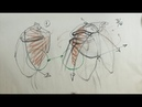 ANATOMY FOR ARTISTS: The Torso (front)-SERRATUS ANTERIOR MUSCLE