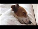 Mother IVI * Jack Russell Terrier * Щенки Джек Рассел Терьер