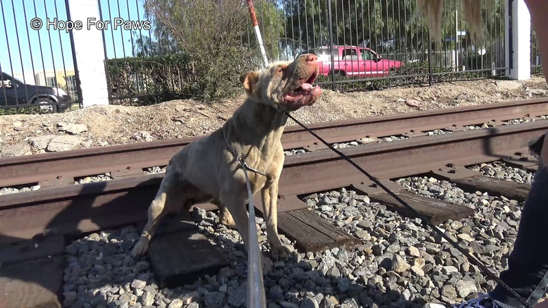 Injured Shar-Pei lives on the railroad tracks rescuing her turned to be dangerous!