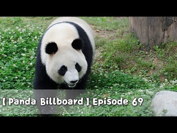 【Panda Billboard】Episode 69 | iPanda