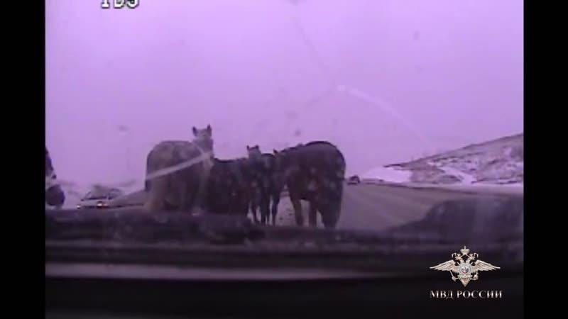 Полиция конвоирует табун лошадей