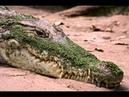 Зачем крокодилы глотают камни?