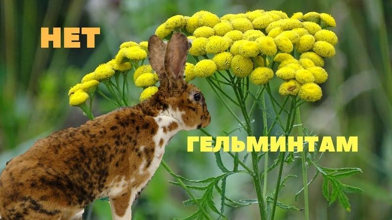 Дегельминтизация кроликов Пижма, Полынь, Хвоя Убиваем паразитов