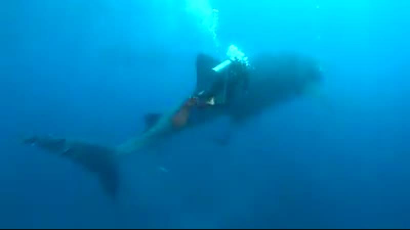 Дайвинг с китовой акулой на Галапагосах