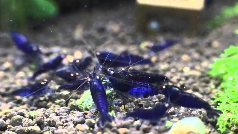 Royal Blue Tiger - By Shrimp Corner Uk