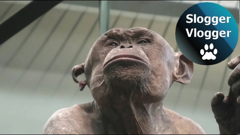Jambo The Hairless Chimpanzee Has Lost Most Of His Ear