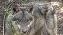 В Германии снова водятся волки