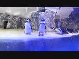 Забавные пингвины в