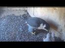 CSU Orange Peregrine Falcon Cam ~ Nice Views Of Eyases Eating ~ Diamond Feeding 9 30 18