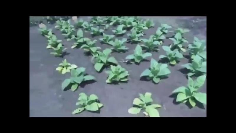 Фильм о выращивании табака от А до Я. От рассвета до заката