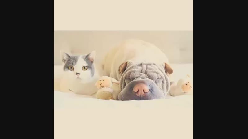 Shar-pei-dog-paddington-friend-annie-cat-20