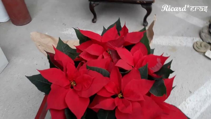 Me regalaron una planta de Nochebuenas Hermosa