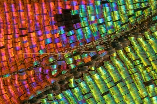 Чешуя крыла бабочки Урания мадагаскарская под микроскопом