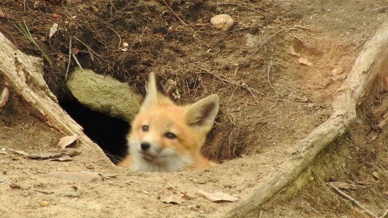 Tired fox kit listening to many sounds.