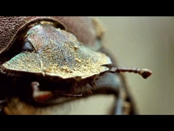 Flight of the Dung Beetle | Narrated by David Attenborough | Operation Dung Beetle | BBC