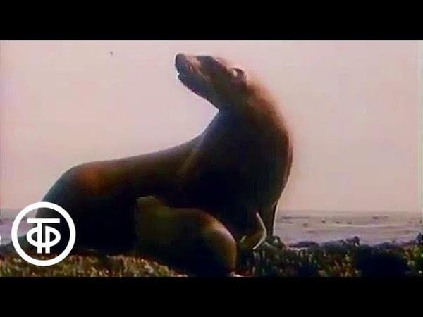В мире животных. Курильские острова. 1990 г. В мире животных