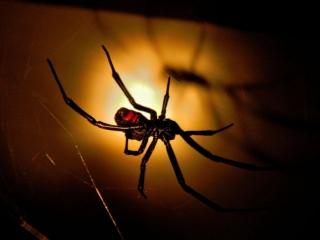 Павук Черная вдова