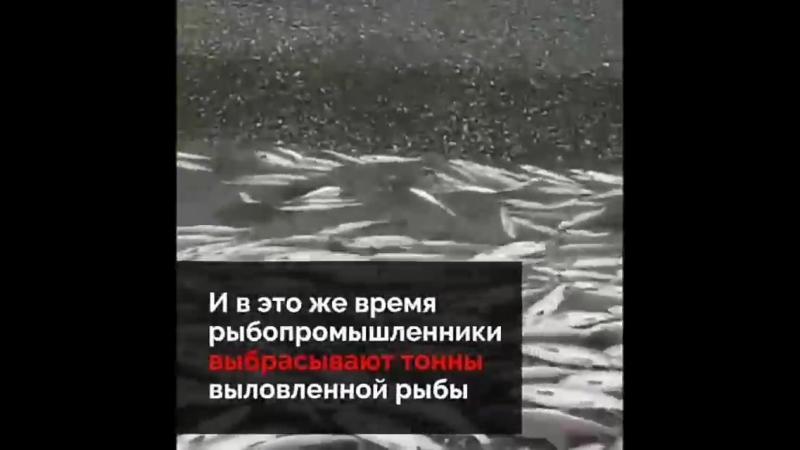 Лосось с икрой выбрасывают тоннами на берегу. Почему власть бездействует?