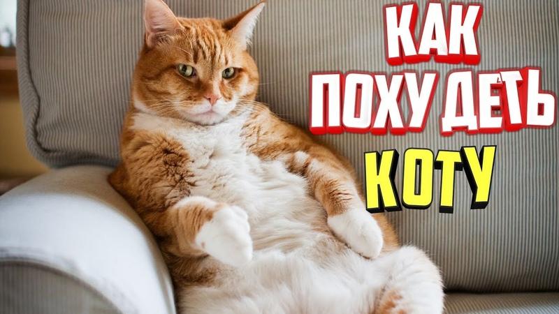 Как похудеть коту?