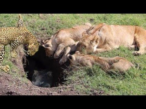 Báo đốm , Sư tử săn con mồi dưới hang như thế nào ?? khi Heo rừng chúa nổi giận