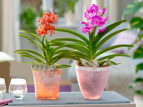 Орхидея аскоценда Аскоценда (Ascocenda) данный род, представленный эпифитами, имеет прямое отношение к семейству орхидные. Он был получен в результате скрещивания разнообразных видов