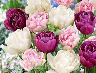 Тюльпаны Пожалуй, ни один цветник в мире не обходится без тюльпанов. Без них непредставимы весенние праздники. Они украшают сады тогда, когда другие цветы еще даже не думают распускаться.
