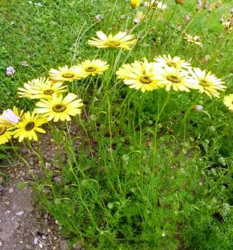 Урсиния Солнечная урсиния настоящая находка для садоводов, благодаря своей неприхотливости в уходе и высокой декоративности цветения. Род культуры насчитывает около 60 видов однолетних и