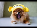 Фотографии собак породы шпиц , самые милые собаки / Шпиц