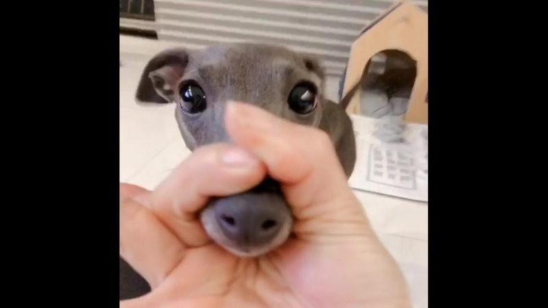 Challenge with Italian Greyhound