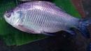 Incredible alive big KATLA fish in the fish marketazing 12 KG fresh katla fish.