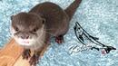 カワウソ コタロー これぞ刺身の踊り食い! Kotaro the Otter Funny Way to Eat Fish