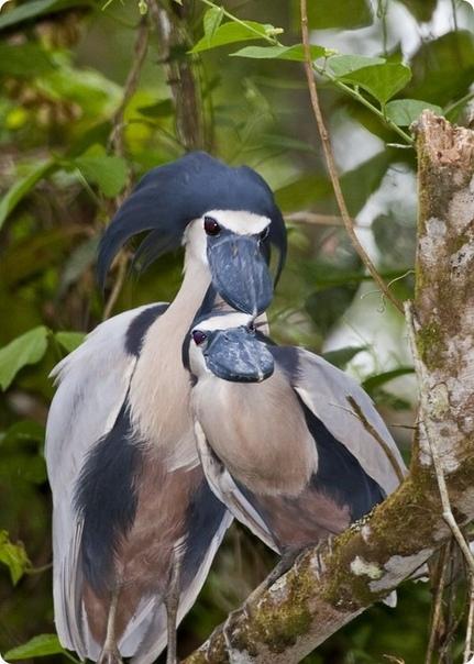 Уникальная малоизвестная птица - черноклюв.