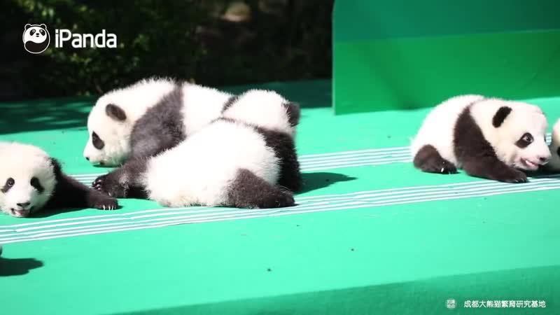 Новорожденные панды. Чэнду