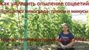 Прищипка побегов винограда- плюсы и минусы. Как улучшить опыление (Пузенко Н.Л.)