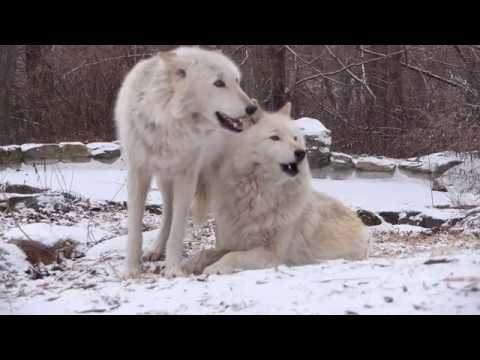 Wolves Howling in the Snow