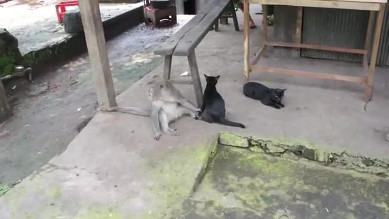 Обезьяна и кошка